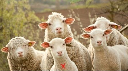 شاهد /  بيع خروف في مزاد علني  بمبلغ صادم !