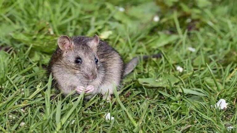 ماذا تبقى لهم ان يفعلوا/علماء صينيون يجبرون الفئران الذكور على الإنجاب